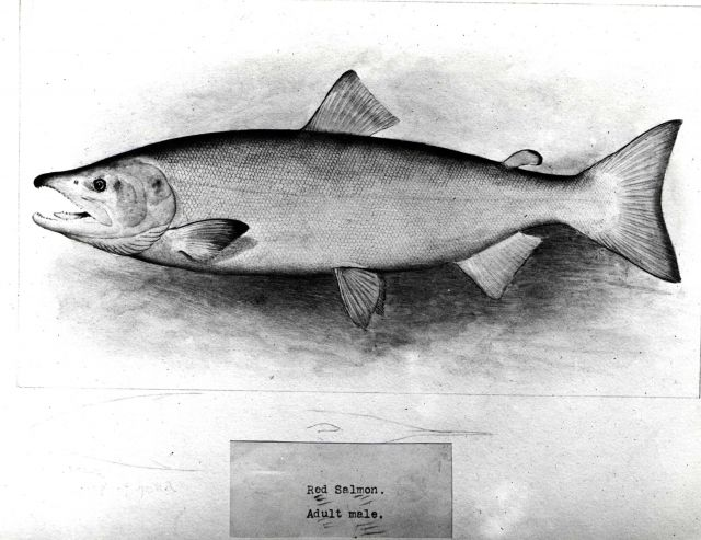 Red salmon, or sockeye, adult male (Onchorhynchus nerka) Picture