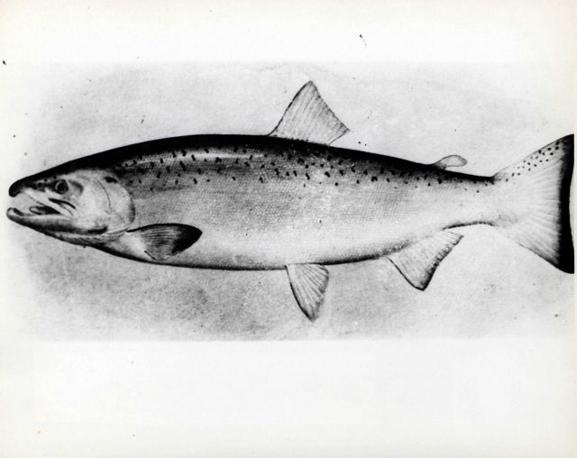 Adult male silver or coho salmon (Onchorhynchus kisutch) Picture