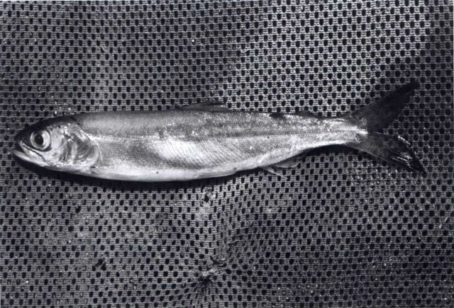 Sockeye salmon smolt Picture