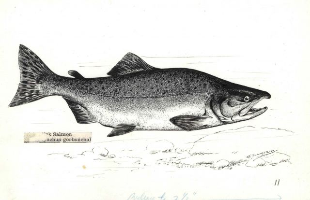 Pink salmon (Onchorhynchus gorbuscha) drawn by G Picture