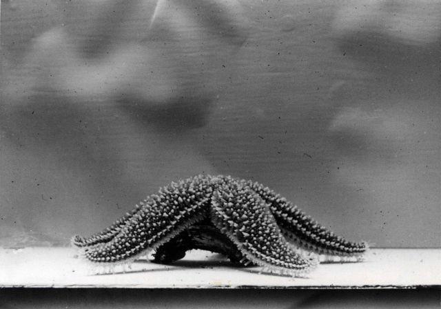 Common starfish (Asterias forbesi) moving on bottom of aquarium tank. Picture