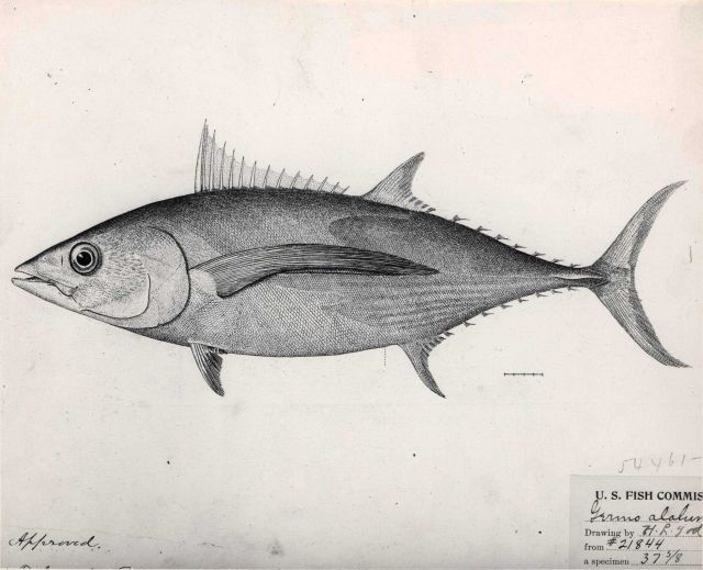 Drawing of albacore tuna (Germo alalunga) Picture