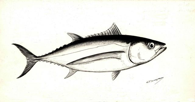 Art - Drawing of albacore (Thunnus germo) Picture