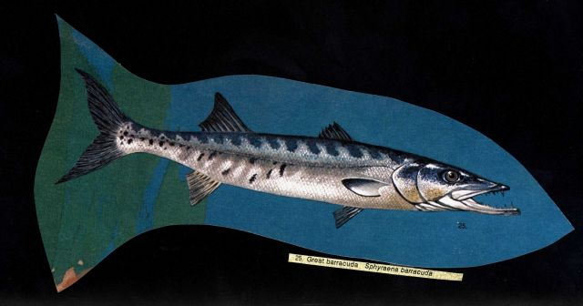 Art - Great barracuda (Sphyraena barracuda) Picture