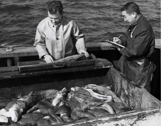 Biologists measuring cod fish at sea Picture