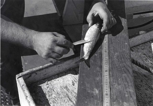 Alewife research - Collecting alewife aboard VIMS ferryboat LANGLEY. Picture