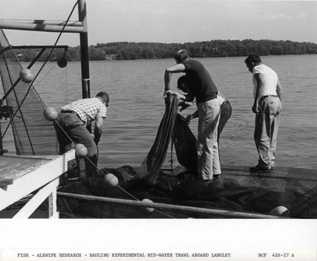 Alewife research - Hauling experimental mid-water trawl net aboard Virginia Institute of Marine Science ferry boat LANGLEY. Picture