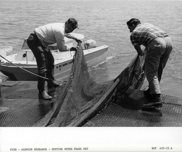 Alewife research - Setting otter trawl net from Virginia Institute of Marine Science ferry boat LANGLEY. Picture