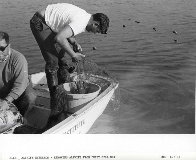Alewife research - Removing alewife in drift gill net set from skiff off Virginia Institute of Marine Science ferry boat LANGLEY. Picture