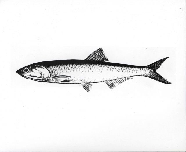 Drawing of northern anchovy Picture