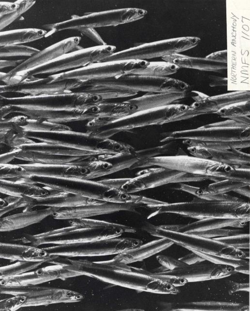A school of northern anchovy Picture