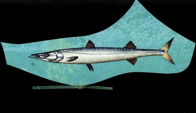 Artist's rendition of a California (Pacific) barracuda (Sphyraena argentea) Picture