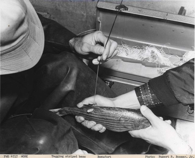 Tagging striped bass Picture