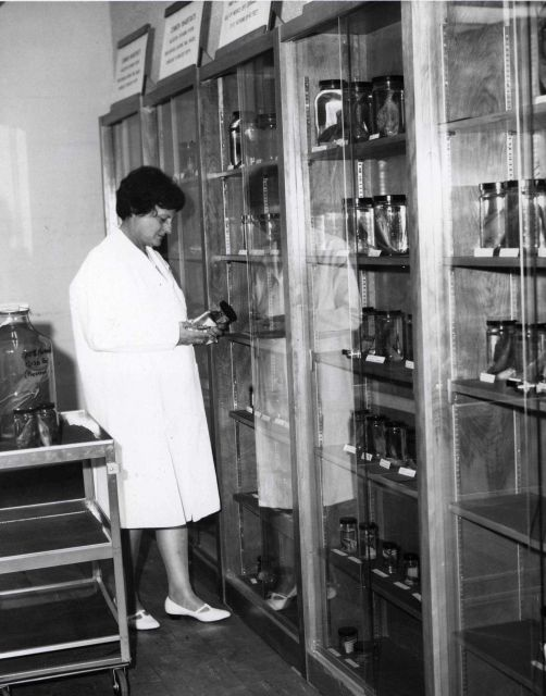 Museum technician examining specimens in Station museum. Picture