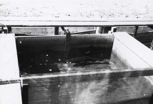 A chinook salmon in position between electrodes of the electroparalysis unit Picture