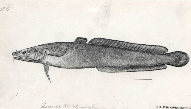 Artwork-Drawing of burbot (Lota maculosa) presently called (Lota lota) Picture