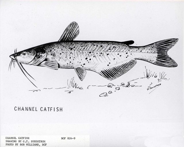 Artwork - Channel catfish, drawing by G Picture