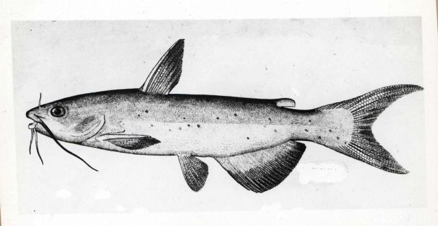 Artwork - Channel catfish (Ictalurus punctatus) Picture