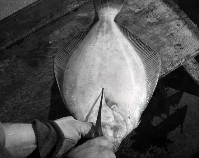 How to fillet a flatfish Picture