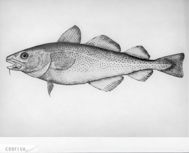 Artwork - Atlantic codfish (Gadus morhua) Picture