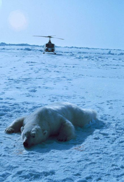 Sedated polar bear with NOAA Bell UH-1M. Picture