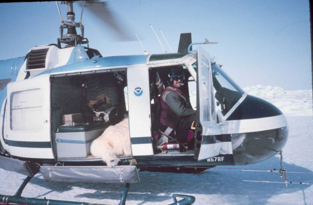 Relocating a sedated bear on NOAA Bell UH-1M. Picture