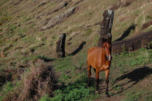 Horse following trail through the moai of the Rano Raraku quarry. Picture