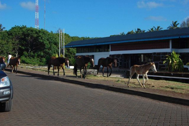 Horses taking the right-of-way in Hanga Roa Picture