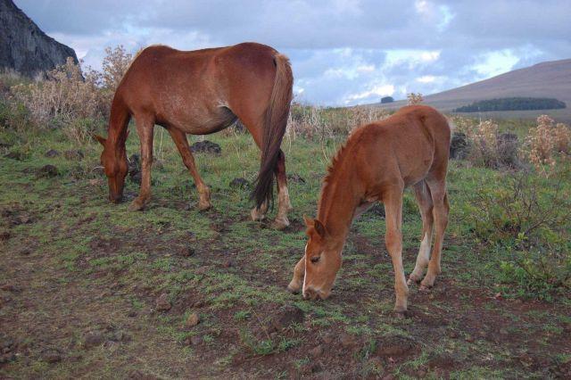 Horses at the Rano Raraku quarry Picture