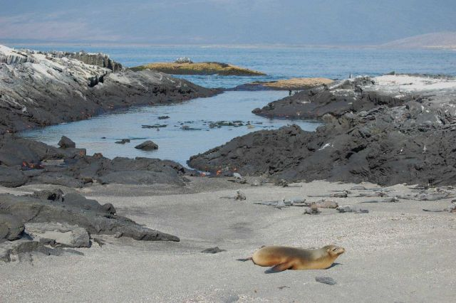 Sea lion, marine iguanas, and sally lightfoot crabs co-existing on the beach at Punta Espinosa. Picture