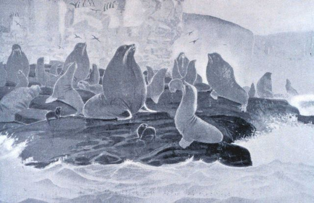 A group of sea lions (Eumetopias stelleri) at St Picture