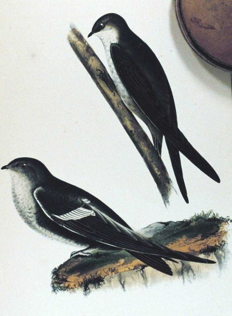 Panyptila melanoleuca Picture
