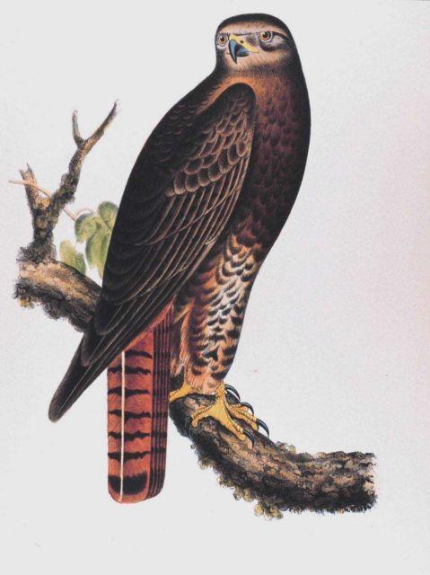 Buteo calurus, Cassin Picture