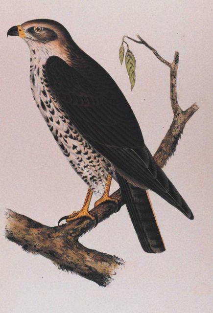 Buteo oxypterus, Cassin Picture