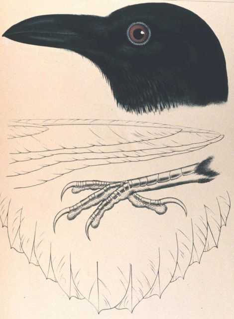 Corvus cacalotl, Wagler Picture