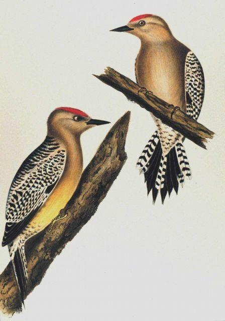 Centurus uropygialis, Baird Picture