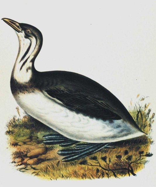 Podylimbus lineatus, Heermann Picture