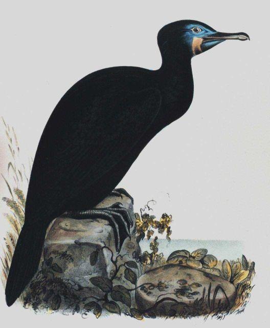 Phalacrocorax penecillatus, Brandt Picture