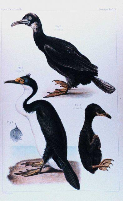 Phalacrocorax verrucosus -- a type of cormorant Picture