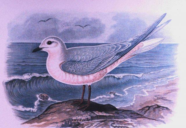 Rhodostethia rosea, male, adult in winter plumage Picture