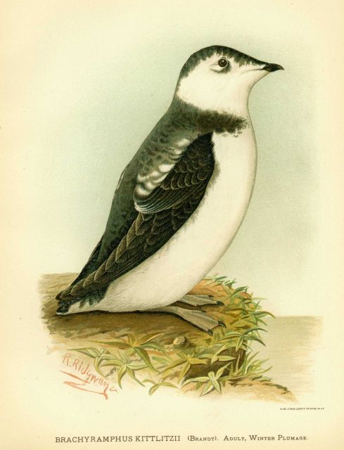 Adult Kittlitzii's Murrelet (Brachyramphus kittlitzii) in winter plumage, in: