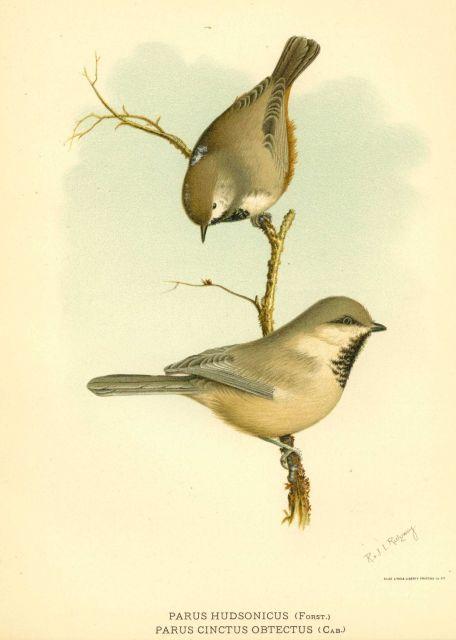 The boreal chickadee ( Parus hudsonicus) and Siberian tit (Parus cinctus) in: