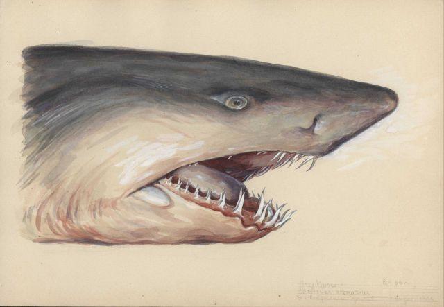 Grey nurse shark (Carcharias taurus). Picture