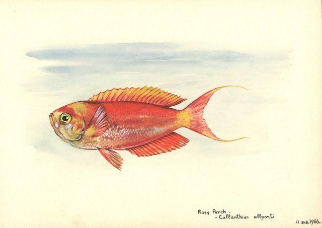 Rosy perch (Callanthias allporti) Picture