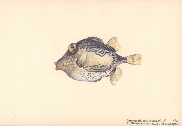 Pygmy boxfish (Capropygia unistriata) Picture
