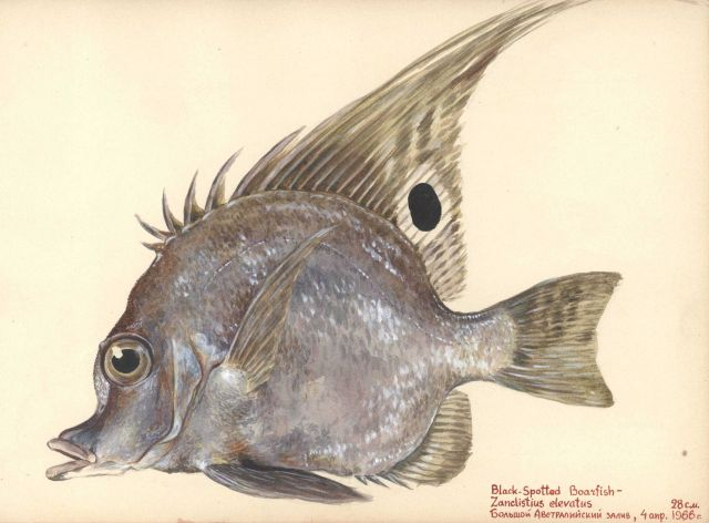 Black-spotted boarfish (Zanclistius elevatus) Picture