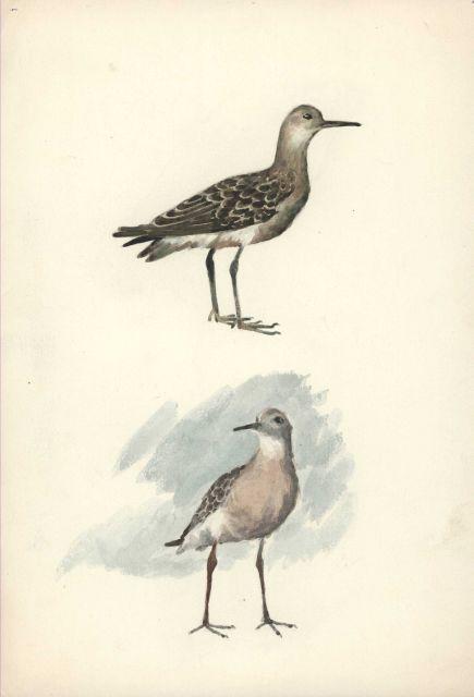 A shorebird Picture