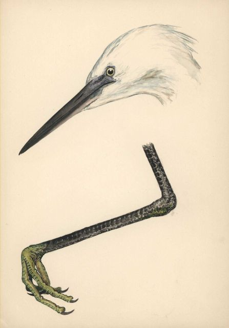 Detail drawing of head and foot of egret Picture