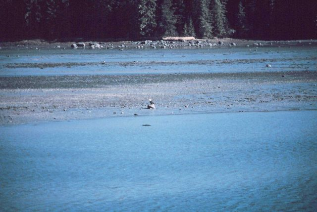 An eagle on the beach at Wrangell Narrows Picture