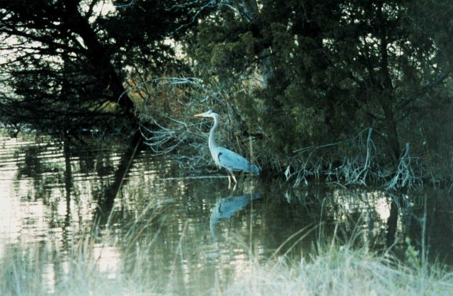 A great blue heron in a tidal pond Picture